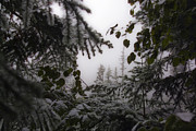Greg Reed - Snow in Trees at Narada...