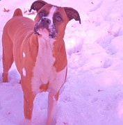 Boxer Photo Originals - Snow Induced Joy by Heather White