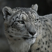 Snow Leopards Prints - Snow Leopard 15 Print by Ernie Echols