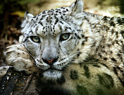 Cat Paw Posters - Snow Leopard Poster by Chris Boulton