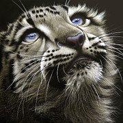 Snow Painting Prints - Snow Leopard Cub Print by Jurek Zamoyski