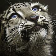 Snow Leopard Cub Print by Jurek Zamoyski