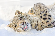 Cat Paw Posters - Snow Leopard Day Poster by John  Haig