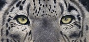 Rachel Stribbling - Snow Leopard Eyes...
