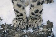 Thomas and Pat Leeson - Snow Leopard Feet
