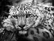 Chris Boulton - Snow Leopard in black...
