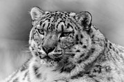 Chris Boulton - Snow Leopard Portrait