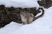Asian Wildlife Posters - Snow Leopard Poster by Sandra Bronstein