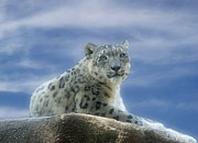 Wild Animals Digital Art Metal Prints - Snow Leopard Metal Print by Sandy Keeton