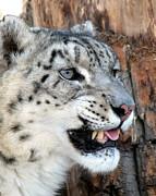 Ramona Johnston - Snow Leopard Snarl