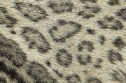 Pelt Prints - Snow Leopard Uncia Uncia Fur Detail Print by Cyril Ruoso
