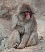 Contemplating Art - Snow Monkey by Jill Mitchell
