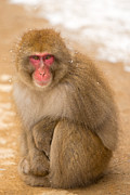 Natural Focal Point Photography - Snow Monkey On Path