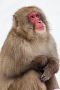 Natural Focal Point Photography - Snow Monkey Portrait