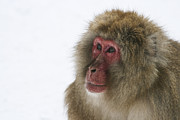Brandon Nadeau - Snow Monkey Wonder