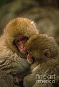 Art Wolfe - Snow Monkeys Cuddling