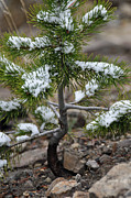 Bruce Gourley - Snow on Baby Pine Tree...