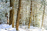 Thomas R Fletcher - Snow on Hemlocks