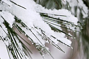 Snowflake Prints - Snow on pine needles Print by Elena Elisseeva