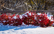 Split Rail Fence Photos - Snow on the Fire Bush by M Dale