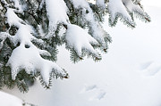 Snow Covered Pine Trees Prints - Snow on winter branches Print by Elena Elisseeva