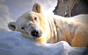 Polar Bears Prints - Snow Relaxation Print by Emily Stauring