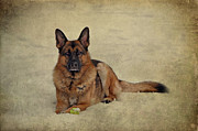 Veterinary Prints - Snow Shepherd Print by Sandy Keeton
