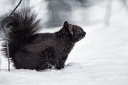 Tetyana Kovyrina - Snow squirrel