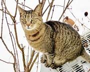 Judy Via-Wolff - Snow Tiger