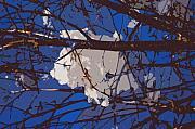 Snowball Print by Carol Lynch