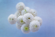 White Flower Photos - Snowballs-Pom Mum by Kim Hojnacki