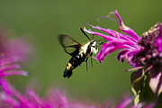 Nectar Posters - Snowberry Clearwing Moth With Pink Flowers Poster by Christina Rollo