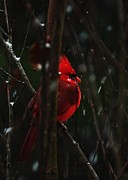 Cardinal In Snow Prints - Snowbound Print by John Harding Photography