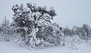 Pekka Sammallahti - Snowclad Pine