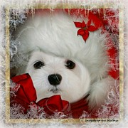Maltese Dog Posters - Snowdrop  and  Santa Hat Poster by Morag Bates