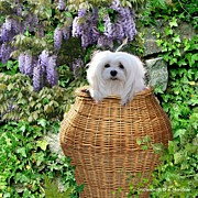 Maltese Dog Posters - Snowdrop in a Basket Poster by Morag Bates
