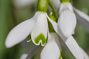 Snowdrops Print by Andreas Levi