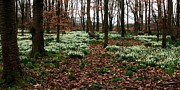 Susan Tinsley - Snowdrops carpet