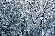 Snowed Trees Digital Art Prints - Snowed Trees 2 Print by Xoanxo Cespon
