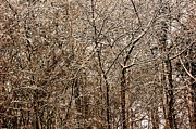 Snowed Trees Metal Prints - Snowed Trees Metal Print by Xoanxo Cespon