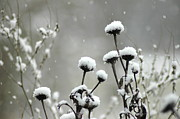 Snowfall On Echinacea Heads Print by Leia Burt
