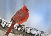 Nava Jo Thompson Posters - Snowing on Red Cardinal Poster by Nava Jo Thompson