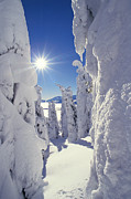 Winter Wonderland Photos - Snowscape Snow Covered Trees And Bright Sun by Anonymous