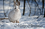 Pups Framed Prints - Snowshoe Hare Christmas Card 1 Framed Print by Michael Cummings