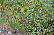 Snowshoe Hare In Montana Print by Natural Focal Point Photography