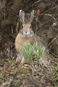 Hare Posters - Snowshoe Hare Sits Next To New Growth Poster by Kenneth Whitten
