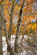 Turning Leaves Digital Art Framed Prints - Snowy Aspen Grove Framed Print by Kathleen Bishop