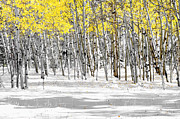 Snowed Trees Photo Metal Prints - Snowy Aspen Landscape Metal Print by The Forests Edge Photography - Diane Sandoval