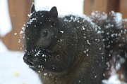 Tammy Franck - Snowy Black Squirrel