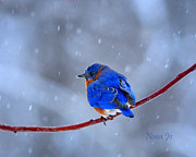 Nava Jo Thompson Posters - Snowy Bluebird Poster by Nava Jo Thompson
